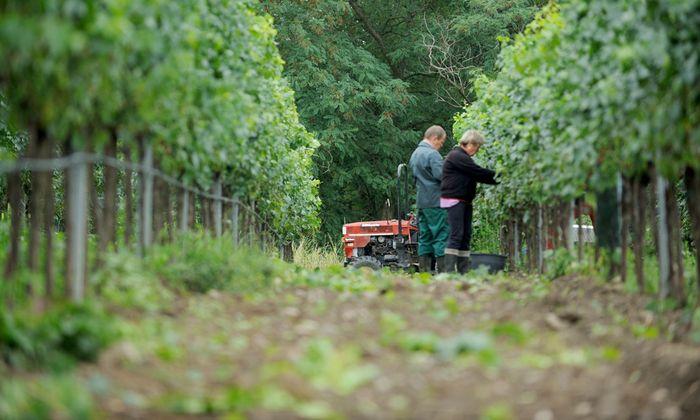 Auch Wikinger können Wein machen (Symbolbild).