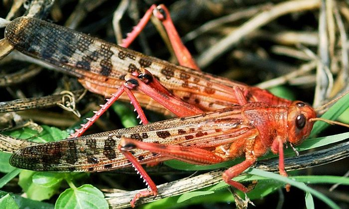 Unter normalen Verhältnissen sind Heuschrecken Einzelgänger. Bei großem Futtermangel nehmen sie eine rote Farbe an und gehen in Schwärmen auf Wanderschaft.