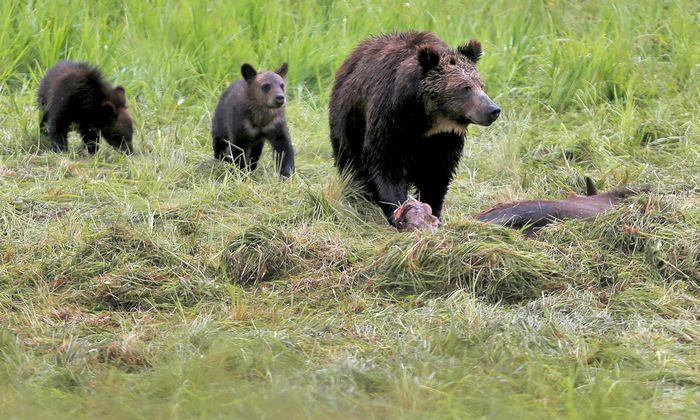 Risiko. Kommen Menschen Bären zu nahe, kann es gefährlich werden. Besonders dann, wenn eine hungrige Bärin in Gefolgschaft