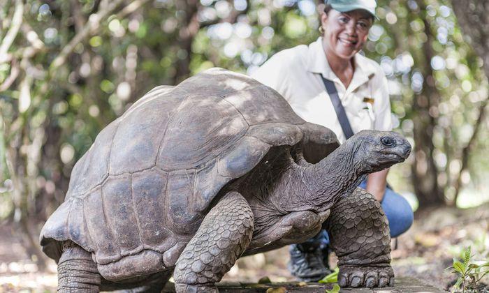 Big Daddy, älteste Riesenschildkröte und Chef des Naturparks Ille aux Aigrettes.
