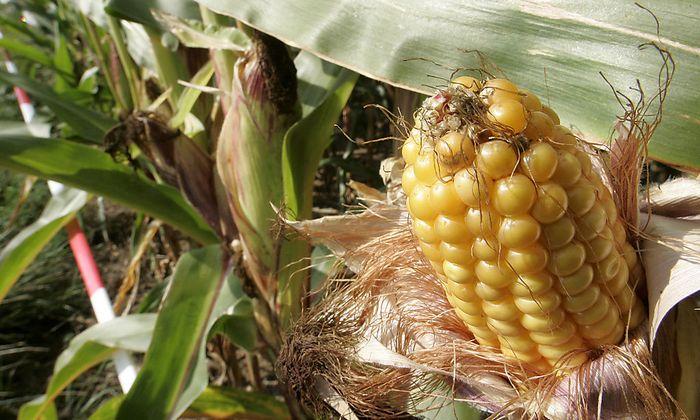 Archivbild - Ein Gen-Maiskolben auf einem gekennzeichneten Maisfeld in Froehstockheim bei Kitzingen in Deutschland.