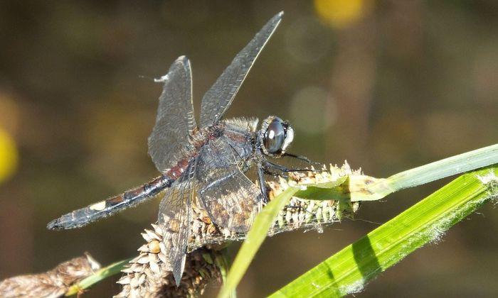 Libellen – im Bild ein Exemplar der vom Aussterben bedrohten Großen Moosjungfer (Leucorrhinia pectoralis) – stellen hohe Ansprüche an ihren Lebensraum. Sie sind daher auch gute Bioindikatoren für den Zustand von Gewässern und Uferbereichen.
