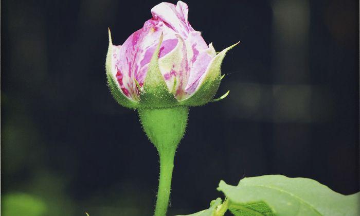 Vor allem Rosen leiden, wenn zu viele Insekten an ihnen saugen.