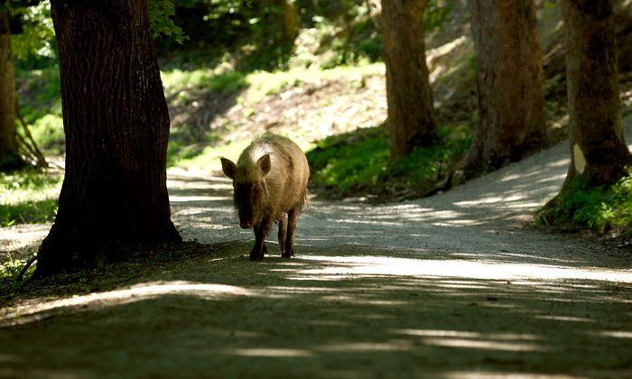 Begegnungen mit Wildschweinen sind im Naturpark Sparbach bei Mödling sehr wahrscheinlich.