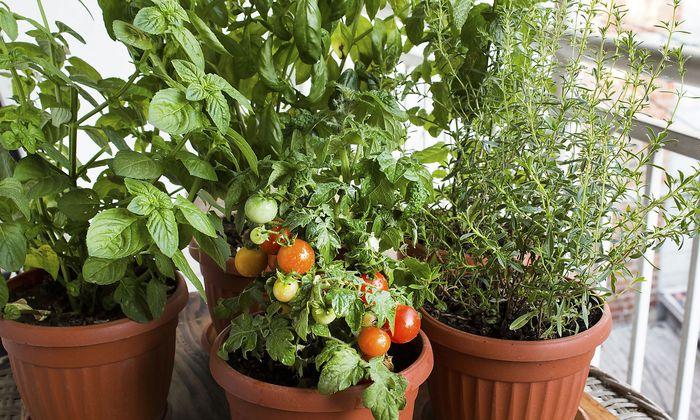 Tomaten und Kräuter auf dem Balkon.
