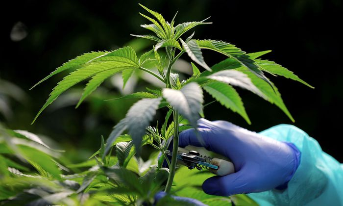 FILE PHOTO: An employee tends to a medical cannabis plants at Pharmocann, an Israeli medical cannabis company in northern Israel