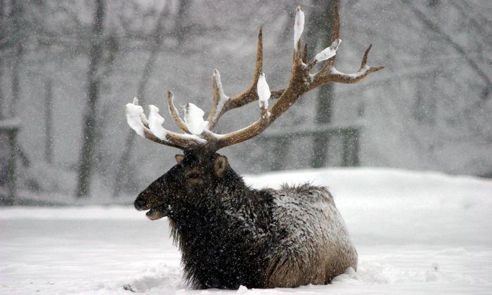 Ein Rothirsch kämpft sich durch den Schnee.