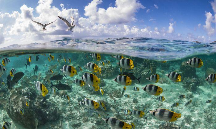 Ob im Meer oder in der Luft: Das Artensterben schreitet voran. Der Pazifische Doppelsattel- Falterfisch ist aber nicht gefährdet.