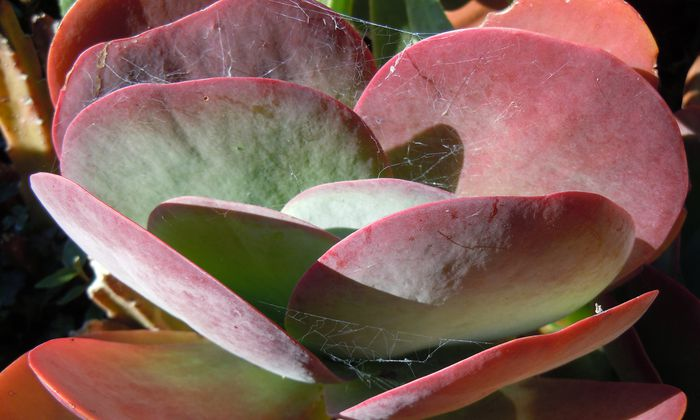 Pflanzen wie die Sukkulenten können in ihren Blättern viel Wasser speichern.