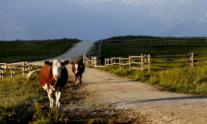 Archivbild: Kühe auf einer Alm im Tiroler Karwendel.