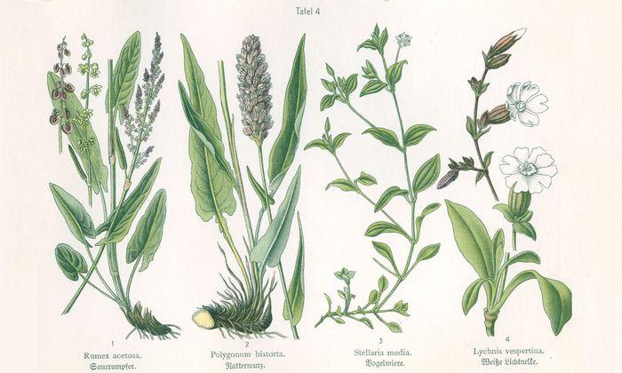 Sauerampfer, Natterwurz, Vogelmiere, Weiße Lichtnelke (von links).