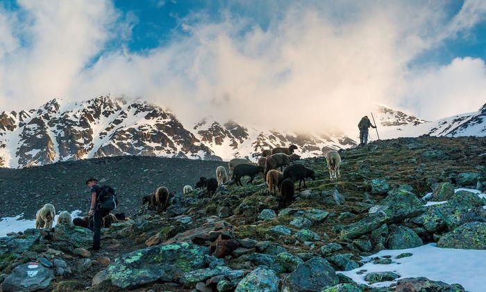 """Wichtiges Thema im Südtirol-Wahlkampf: Laut """"Dolomiten"""" sind heuer bereits 49 Schafe und Ziegen Opfer des Wolfs geworden, mehr als im gesamten Vorjahr."""