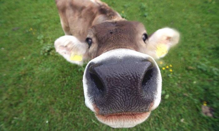 Themenbild: Kuh vor dem Fotoaparat