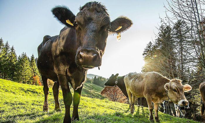 Kühe, aufgenommen in Hittisau im Lecknertal in Vorarlberg