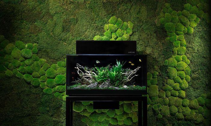 Livecube-Aquarium vor einer mit Moos begrünten Wand.