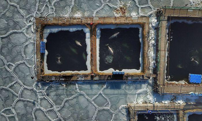 Die Wale werden im außerhalb ihrer Becken zugefrorenen Ochotskischen Meer gehalten.