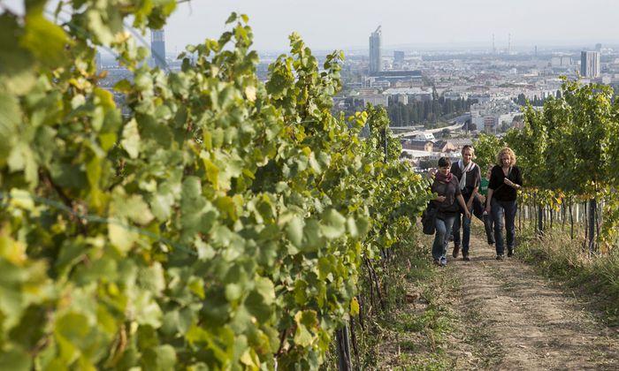Wahltag-Programm: Der Wiener Weinwandertag führt auf drei Etappen durch die Weinberge und zu den Winzern der Stadt.