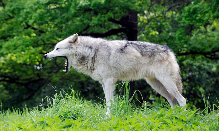 Einer der Wölfe, die sich im Wildpark Ernstbrunn im Weinviertel aus der Nähe beobachten lassen.