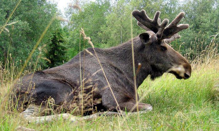 Symbolbild: Ein Elch im im schwedischen Smaland.