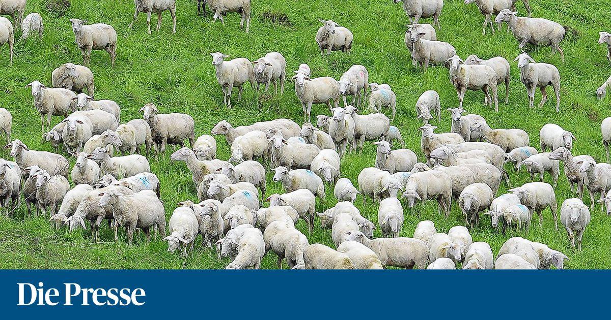 Über 20 Schafe gerissen: Land Salzburg will Wolf abschießen
