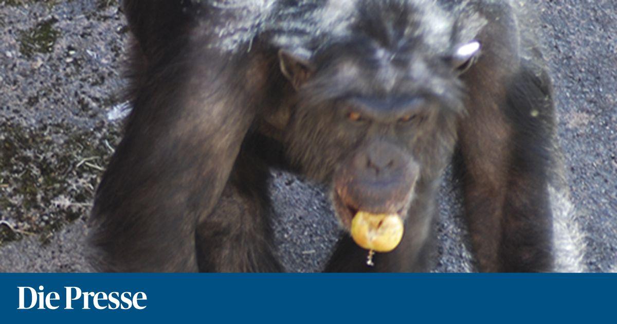 Steine werfender Schimpanse hat neue Strategie « DiePresse.com