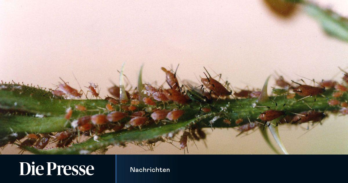 Neem Gegen Blattläuse : neem l gegen blattl use ~ Watch28wear.com Haus und Dekorationen
